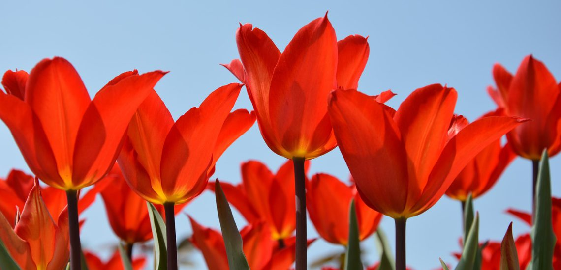 tulips-3251595_1280